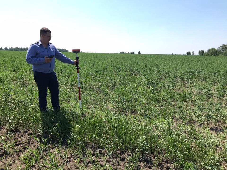 Поле конопли заметили во время проверки. Фото: Управление Россельхознадзора по Челябинской и Курганской областям