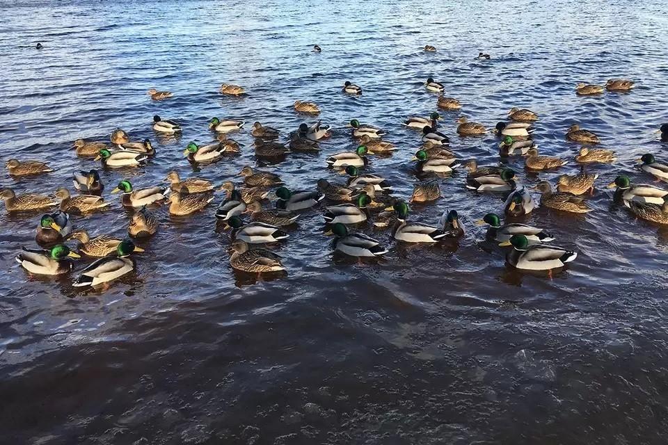 Орнитолог объяснил, из-за чего могут умирать утки в московских водоемах