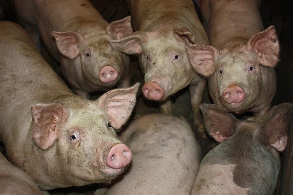 В Тульской области зарегистрирована вспышка африканской чумы свиней