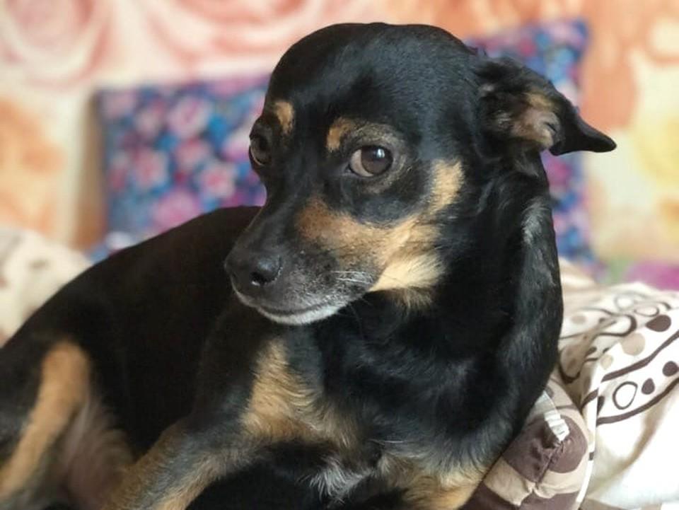 Собака пропала во время прогулки, а когда ее нашли, была уже на грани жизни и смерти