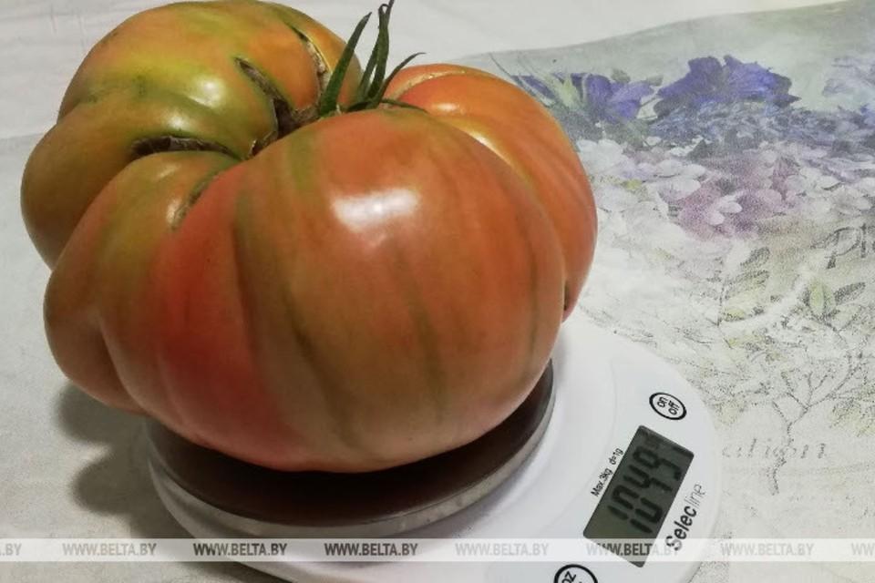 Жительница Гродно вырастила помидор весом более 1 кг. Фото: БелТА