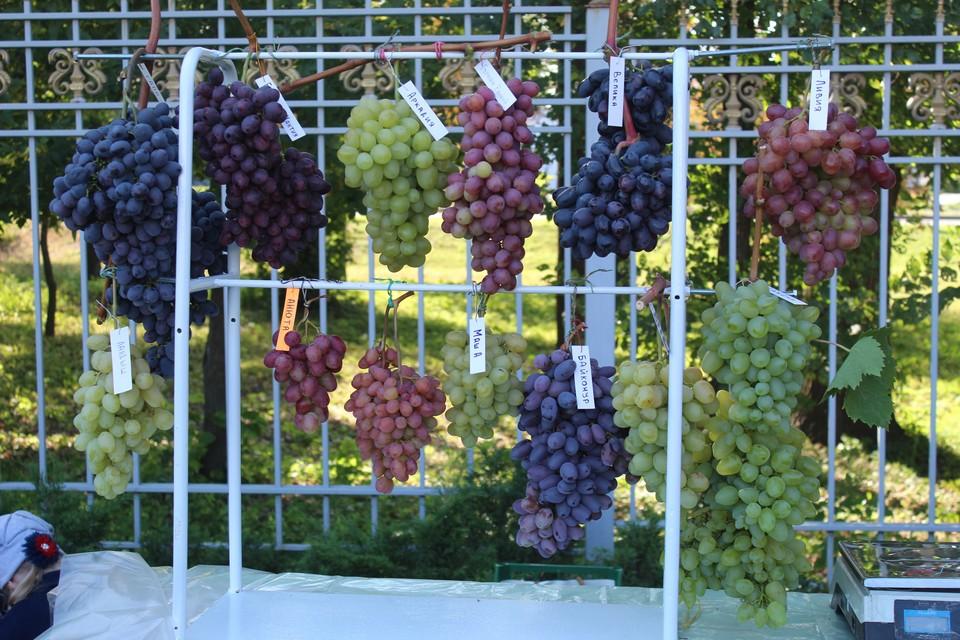 На выставке в Донецке было представлено огромное разнообразие видов винограда. Фото: Минагропром ДНР