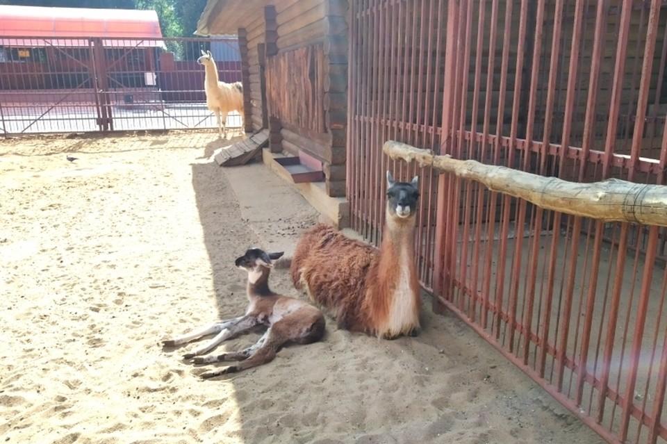 Ламы вынашивают детенышей 11 месяцев