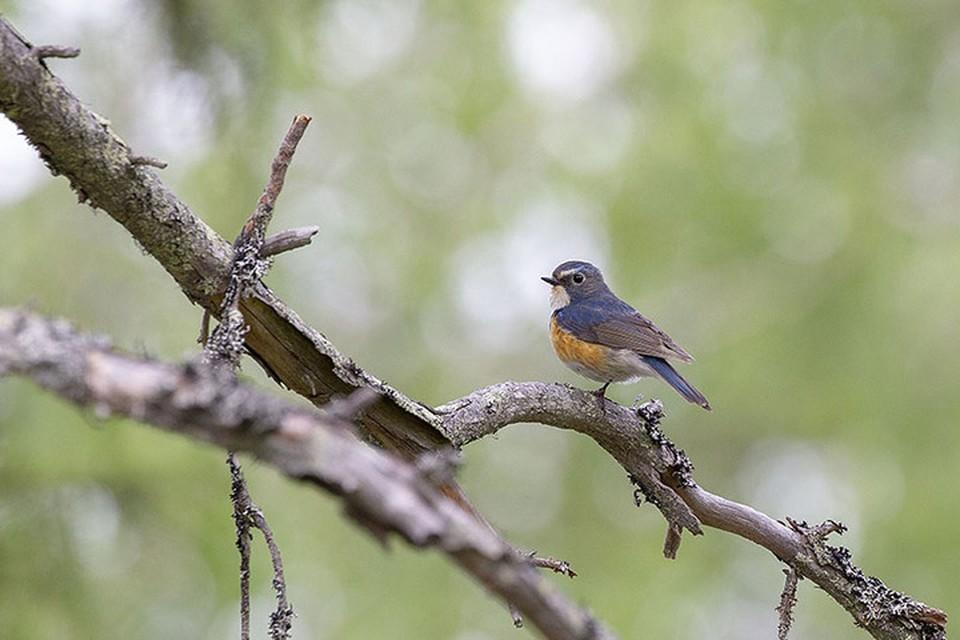 В Беларуси обнаружили птицу, которая до этого никогда здесь не встречалась. Фото: Олі-Пека Карлін, Рованіемі, Фінляндыя. Wikimedia Commons