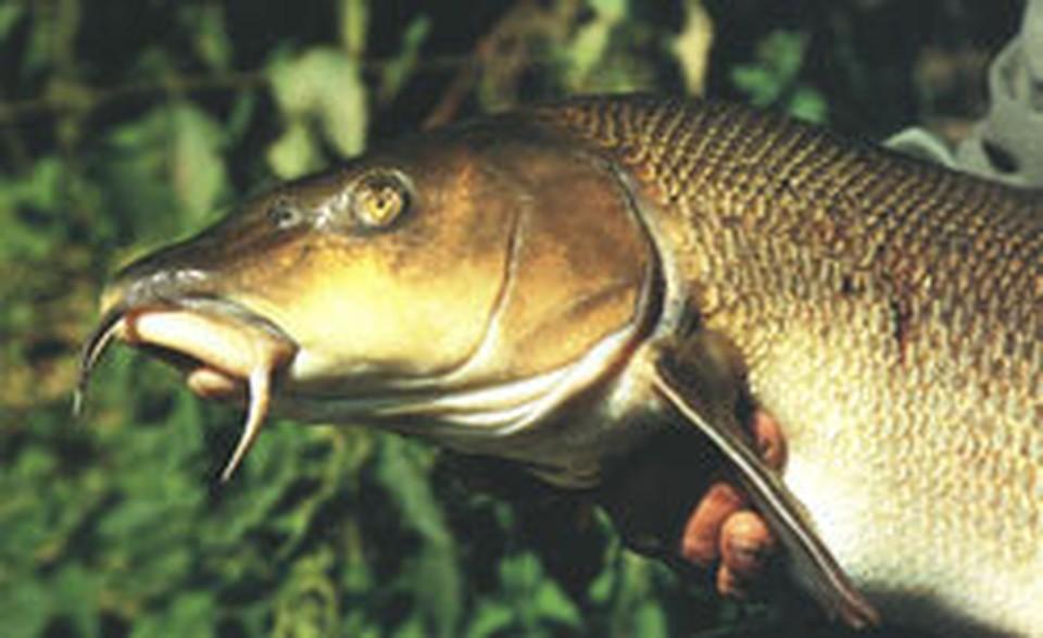 """11 человек отравились икрой рыбы """"усач""""."""