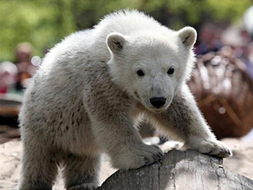Белый медвежонок кнут, проститутки н новгорода снять в субботу
