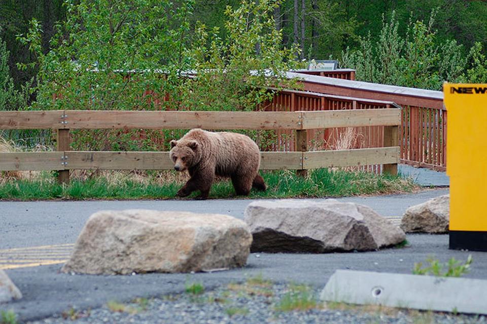 Из-за лесных пожаров к нам сейчас мигрируют голодные, испуганные медведи, которых стали замечать там, где косолапые никогда не водились...