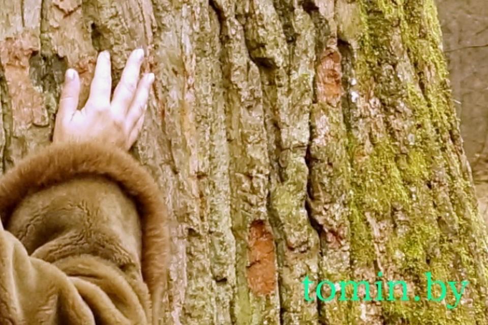 Из-за туристов в Беловежской пуще погибает 600-летний дуб?