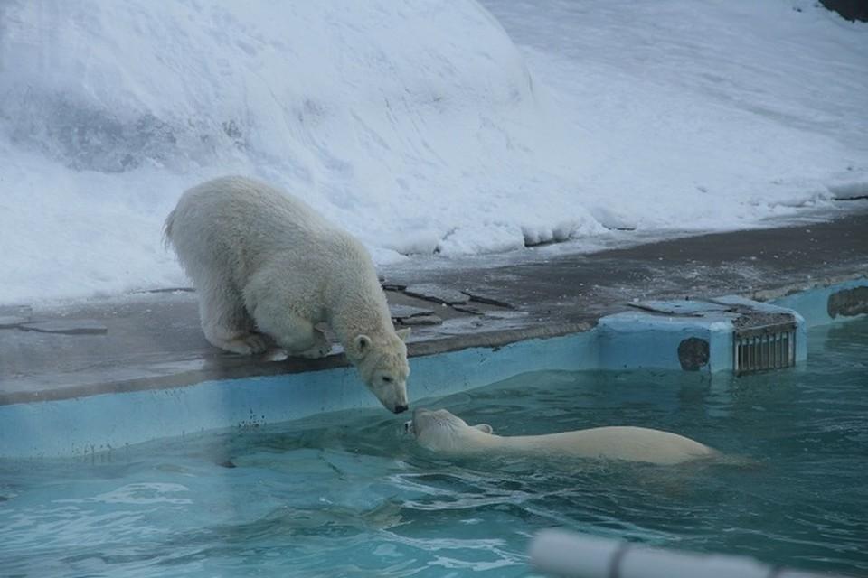 У белого медвежонка Балу в Ижевском зоопарке появилась подружка