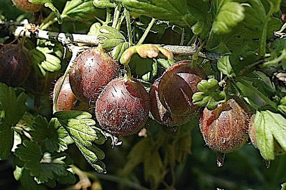 Мучнистая роса всегда поражает молодые растения и нежные, еще не поспевшие плоды.