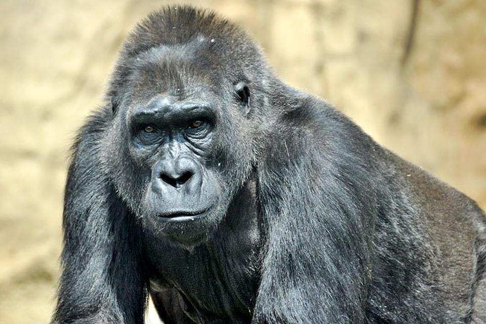 Секс с гориллой обезьяной