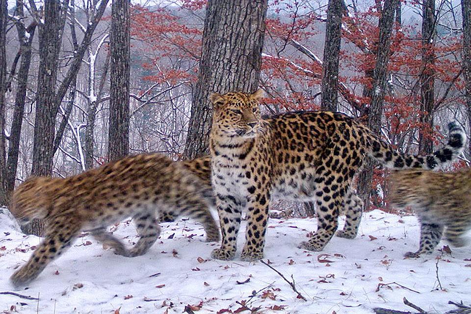 6b5e6721083c Беби-бум в приморском нацпарке «Земля леопарда»  мамы вывели в свет 16 котят