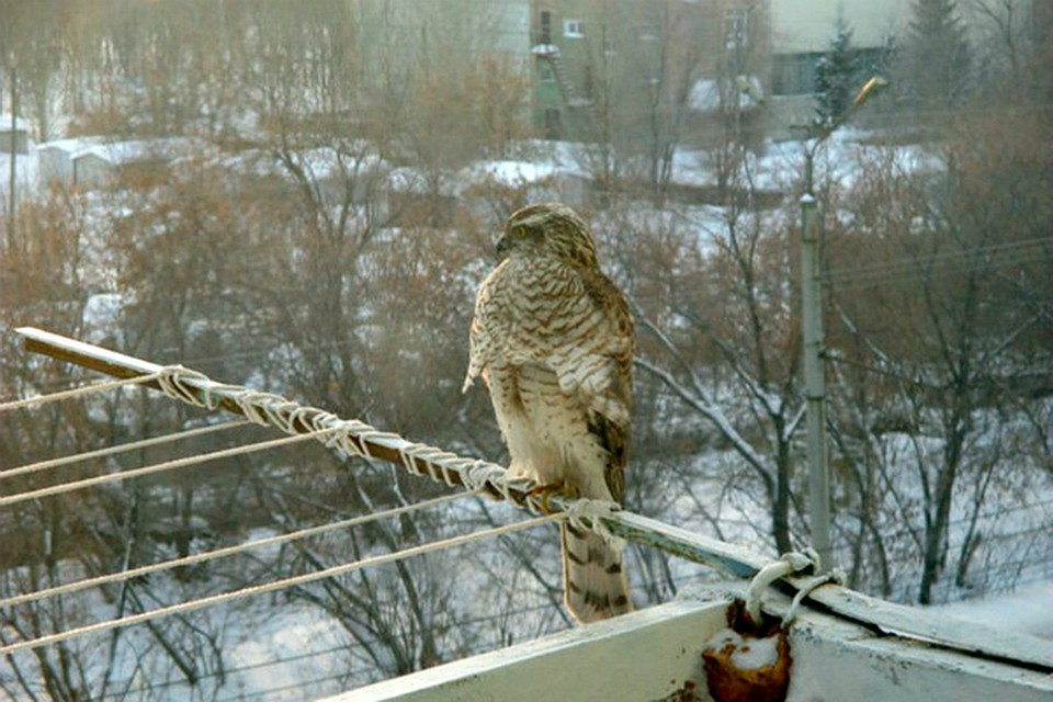 Вот такой птиц только что посетил мой балкон. / развлекатель.