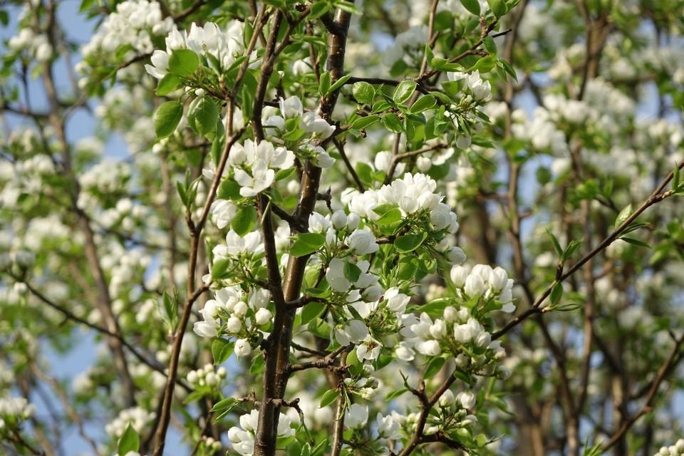 В новокузнецком парке имени Гагарина зацвела одна из первых ранеток. Аромат стоит на много метров вокруг! Природе все равно - на самоизоляции горожане или нет. Тепло - вот и распускаются цветы!
