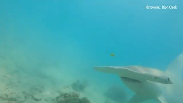 Дайвер отбился от молотоголовой акулы палкой от GoPro