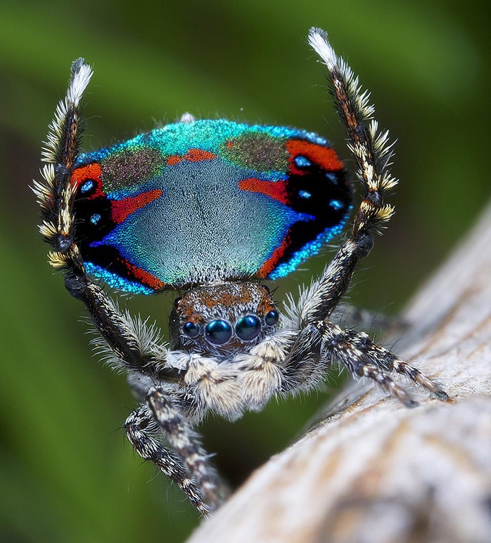 продолжил пауки павлины фото судака
