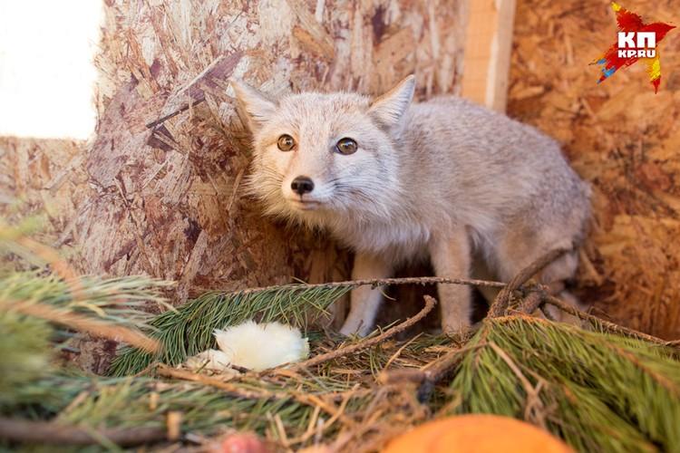 Красивая ласковая степная лисичка. Уже немолода, зубов почти нет. В рационе только мягкая пища