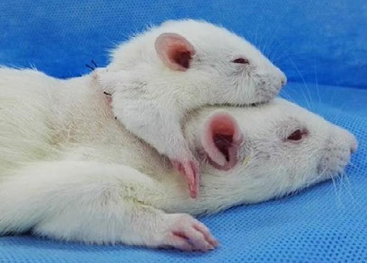 Последнее достижение Серджио Канаверо и коллег — пересадка головы одной крысы на тело другой с помощью кровеносной системы третьей