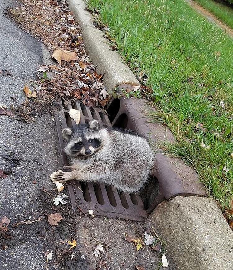 В Чикаго упитанному еноту понадобилась помощь, чтобы выбраться из решетки канализации