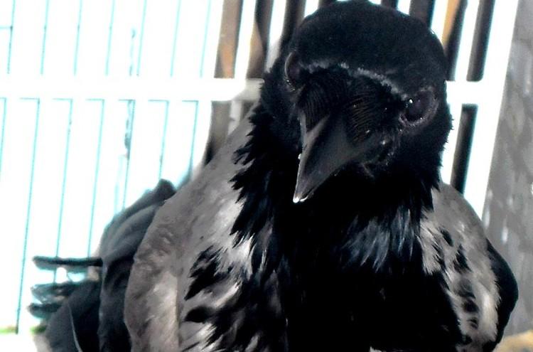 Хитрая ворона Серафима. Фото: из архива Анастасии Каменской