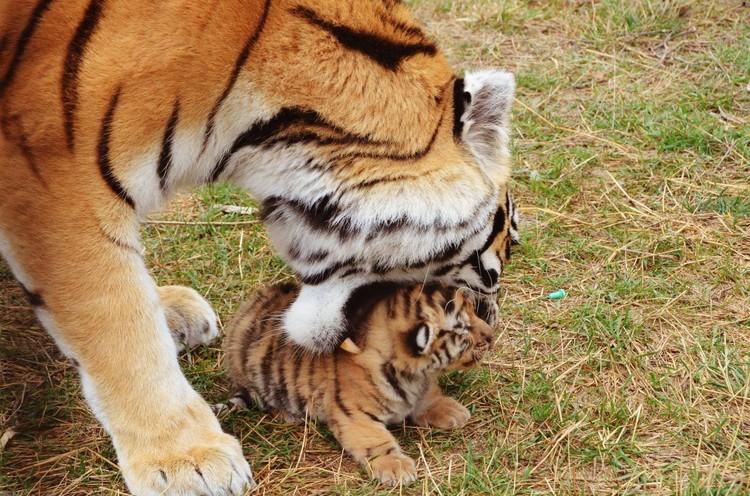 Если тигренок отполз в сторону, то к нему тут же подходит бдительная мама. Фото: Татьяна Алексагина.