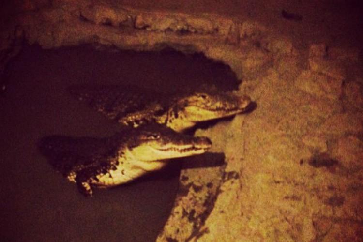 Крокодилы уже попадали в соцсети. ФОТО: instagram