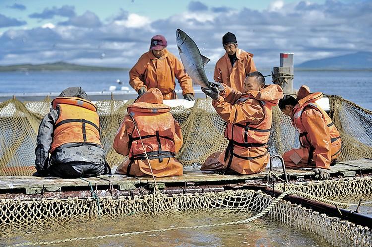 С лососем на Дальнем Востоке проблемы нет. Вот только в наши торговые сети почему-то он «приплывает» с Фарерских островов.