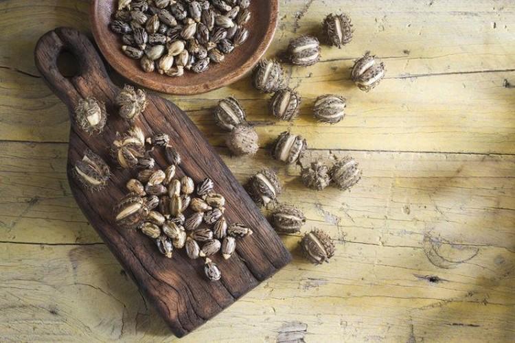 Касторовые бобы, из которых получают рицин