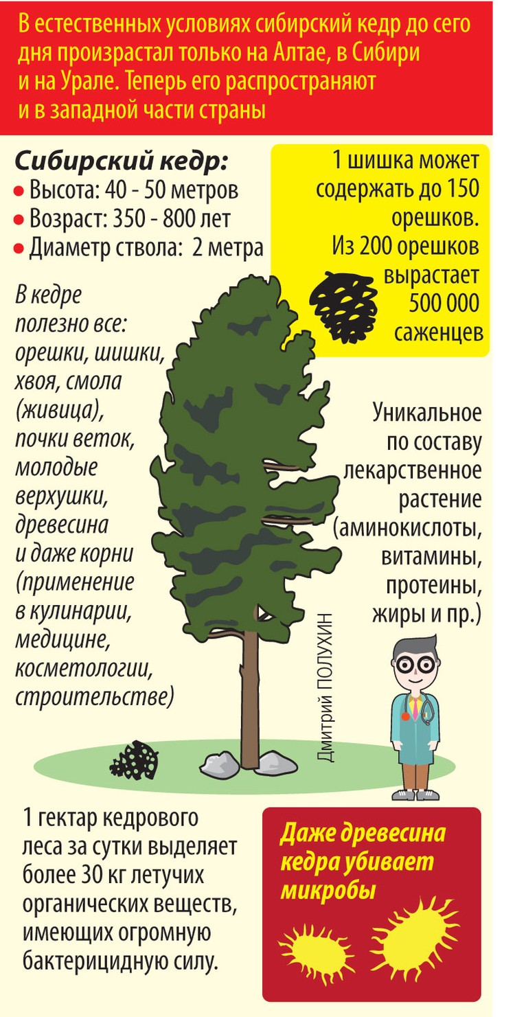 Сибирский кедр.