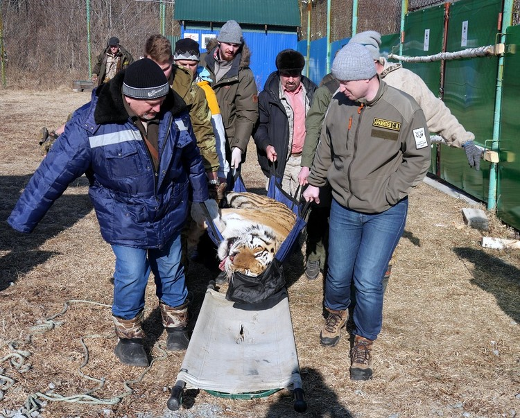 Тигра несут на медосмотр. Фото: Центр «Амурский тигр»