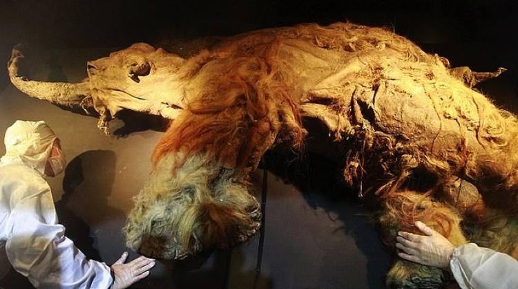 Тушу мамонтенка Юка нашли в Сибири.