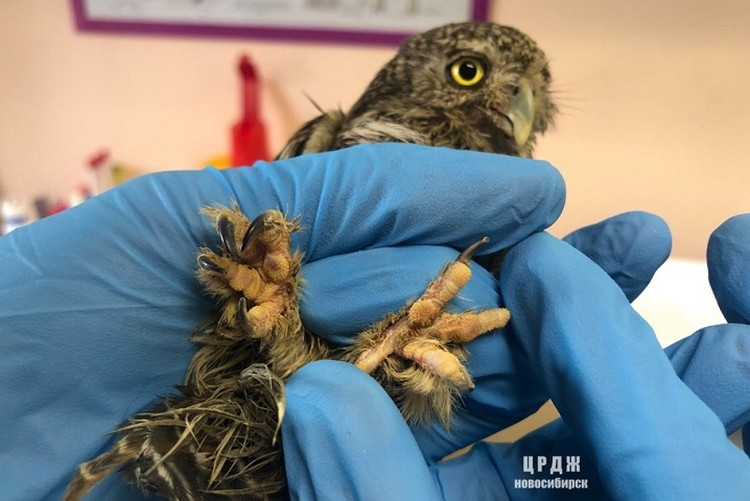 На лапках птицы были замечены коросты и переросшие когти. Фото:Алиса Богомолова