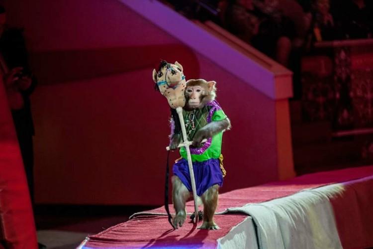На обезьянке Филе лежит ответственная миссия: закончить выступление шоу-балета. Фото: vk.com/cirkzverey