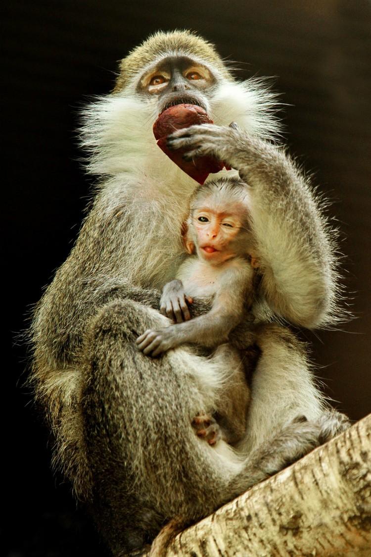 Пока малыш питается молоком матери Фото: пресс-служба Екатеринбургского зоопарка