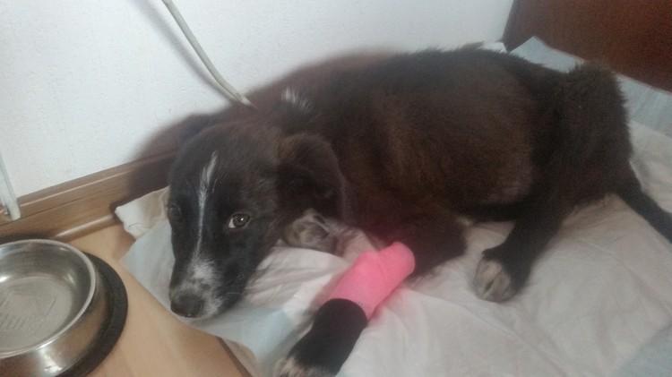Собаке потребовалась операция. Фото: предоставлено героем публикации.