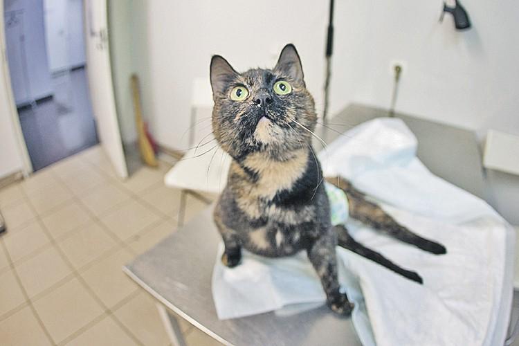 При ветеринарной клинике «Хатико» на Авиационной улице несколько лет жила кошка Маня - заслуженный донор. Фото: Сергей МУХАМЕДОВ