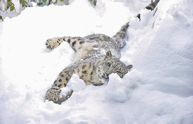 Защита снежного барса - одна из важных программ Русского географического общества. Фото: James Devaney/WireImage/Getty Images