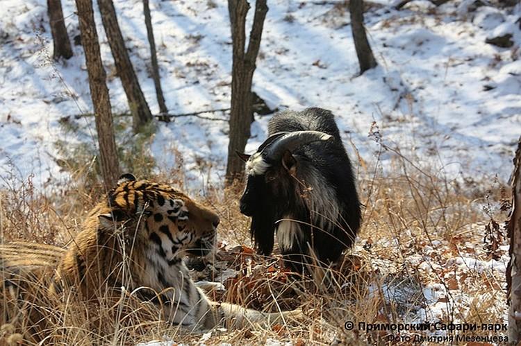 В конце 2015 года благодаря своему бесстрашию и смелости козел стал другом тигра Амура