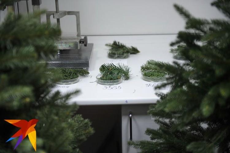 Производители елок засекречены. Даже лаборанты не знают, откуда к ним пришли образцы для испытаний.