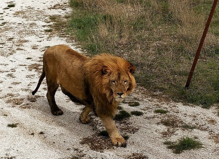 Львы свободно разгуливают по сафари