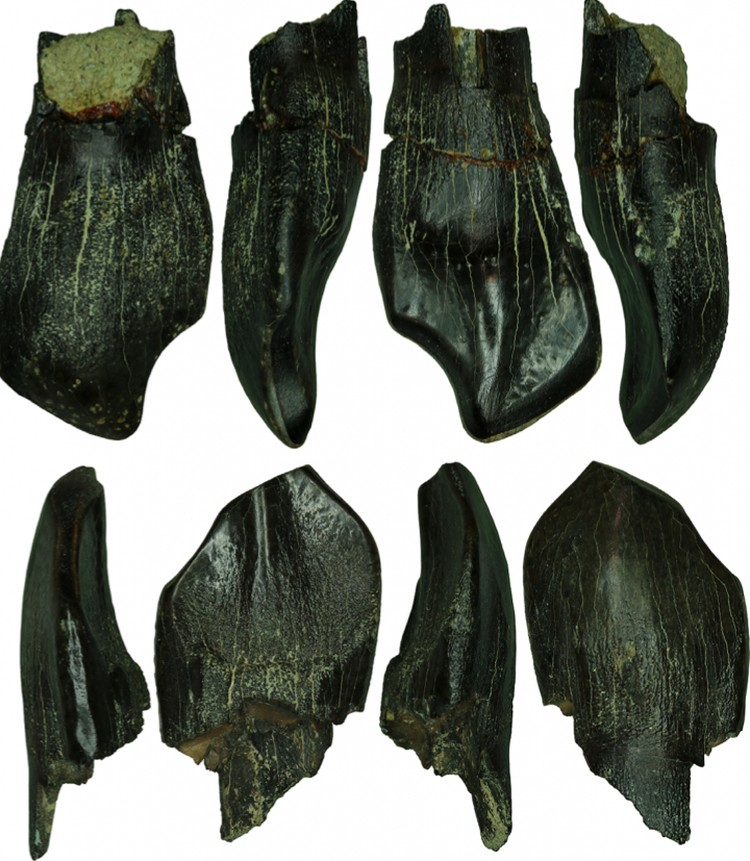 Зубы взрослых завропод (Macronaria) из Тээтэ