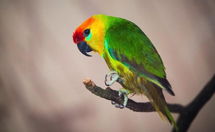 Примерно так выглядел сибирский попугай.