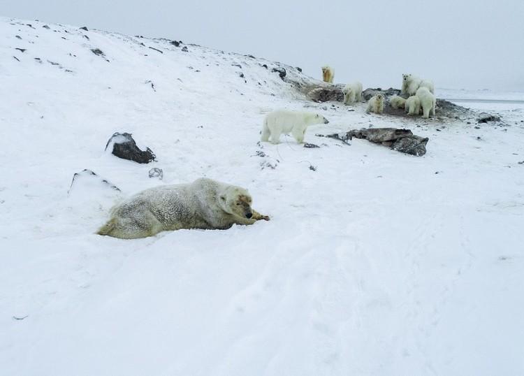 Через село Рыркайпий проходят традиционные пути миграции белых медведей. Фото: Максим Деминов / WWF России