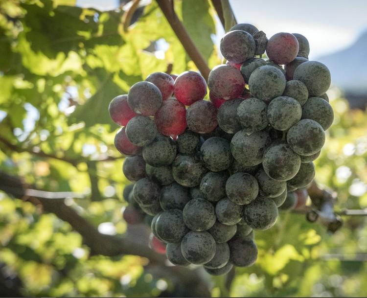 Каждый третий турист отправляется на Кубань, чтобы посетить местные винодельни.
