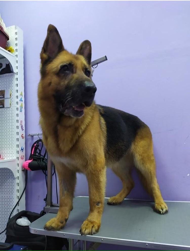 Собаку показали врачу, а грумер привел ее в порядок. Фото: предоставлено группой «Husky24-Помощь хаски».