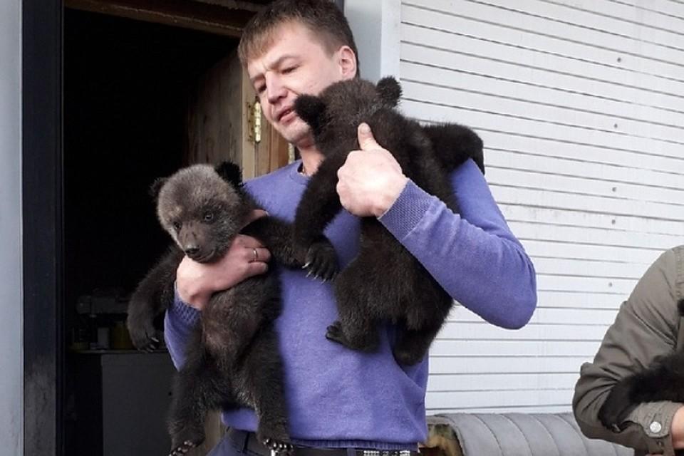 Два из трех осиротевших медвежат. ФОТО: Дмитрий Сибирцев