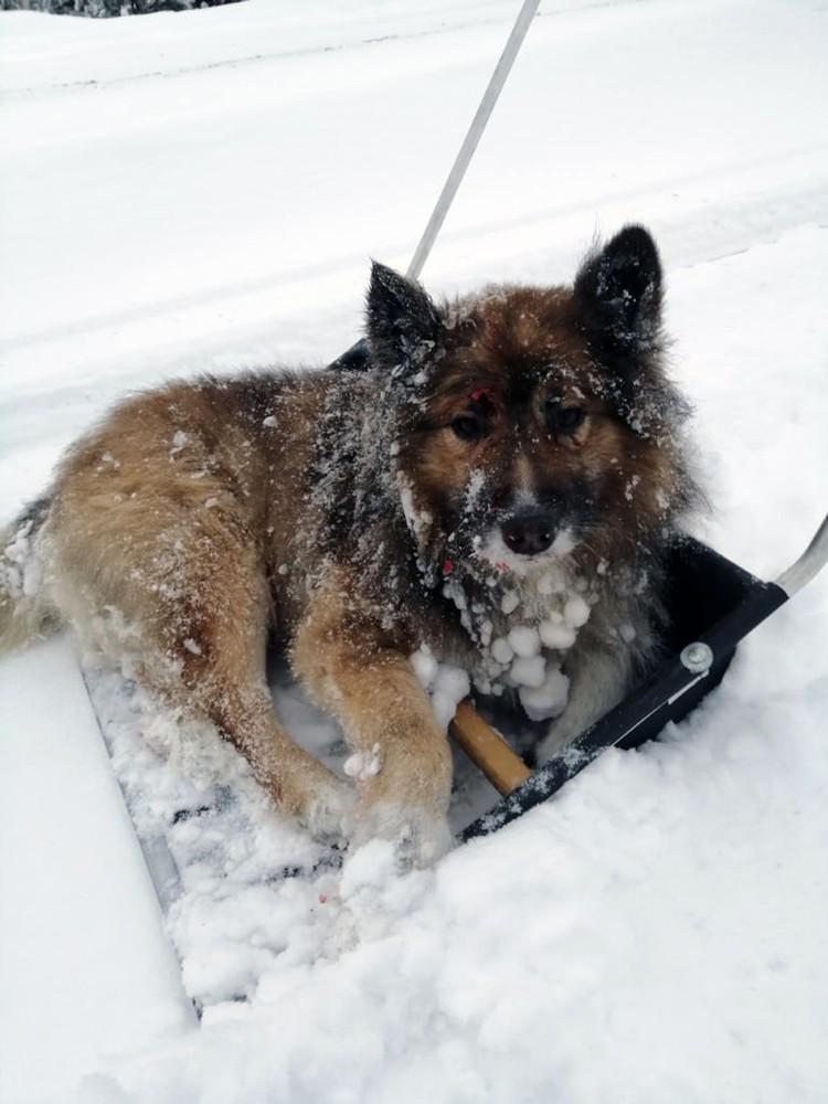 На лопате Юрйи доставил сбитого поездом пса в теплое место. Фото: Суровый Мурманский Поселок Ёнский