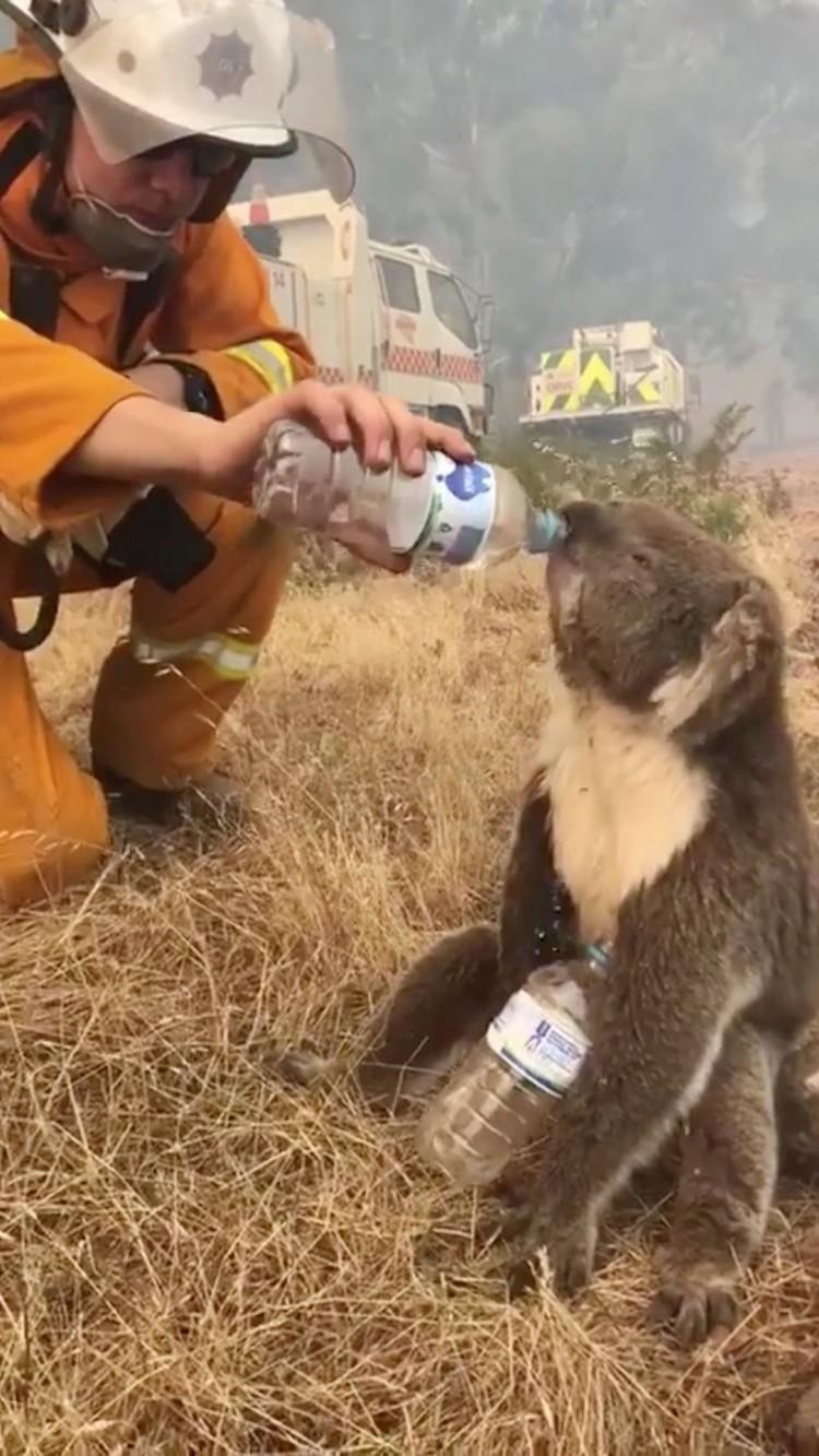 Пожарный отпаивает водой спасенную коалу