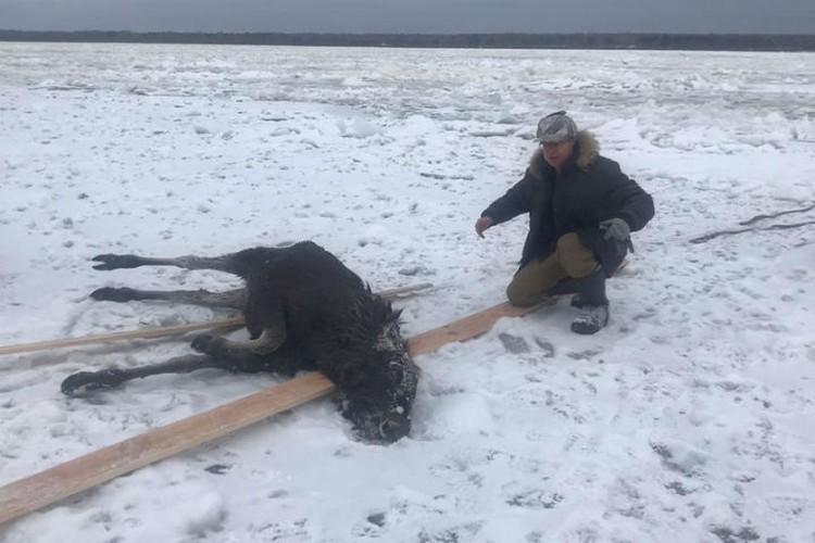 Сергей Шушеров бросился спасать молодое животное, рискуя собственной жизнью. Фото: СОЦСЕТИ