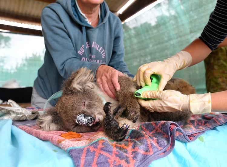 Так оказывают помощь раненым и оставшимся без родителей коалам в специальных клиниках, многие из которых, к слову, переполнены